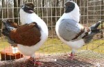 Danish Fancy Pigeons